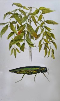 illustration of ash die back and the emerald borer both a major threat to ash trees in the U.K .