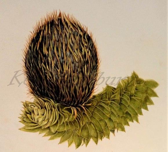 The female cone of the monket puzzle tree, Araucaria araucana.