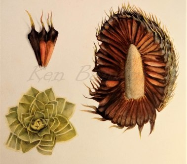 botanical study of the monkey puzzle tree, Araucaria araucana